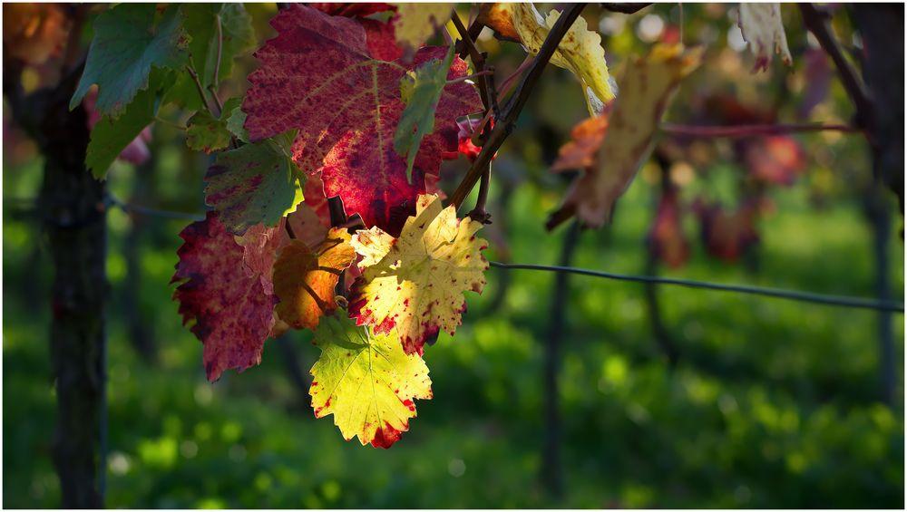 Herbst im Weinberg -1-