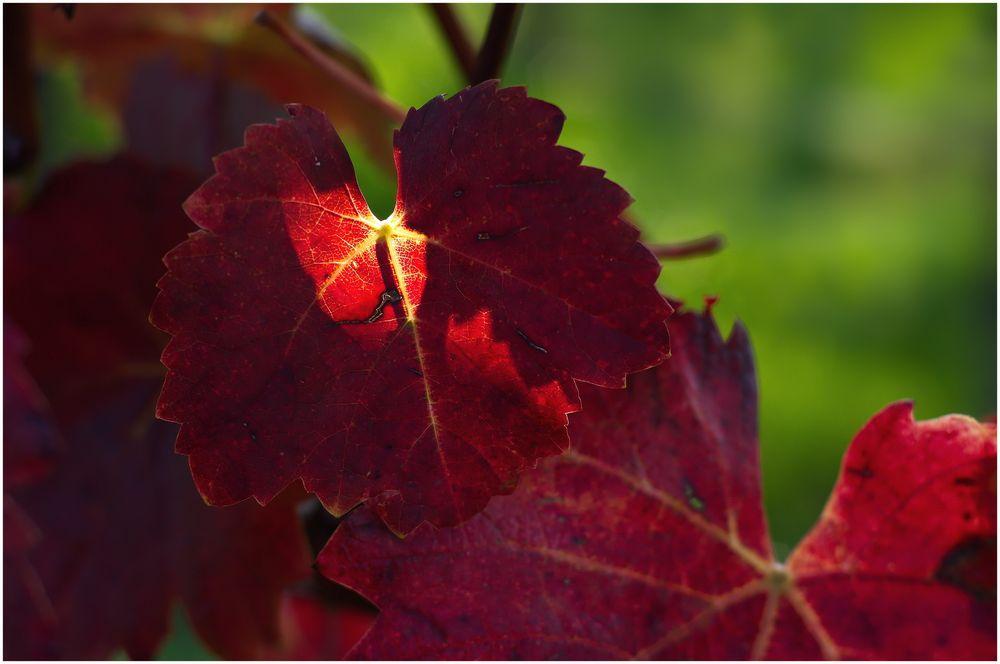 Herbst im Weinberg -2-