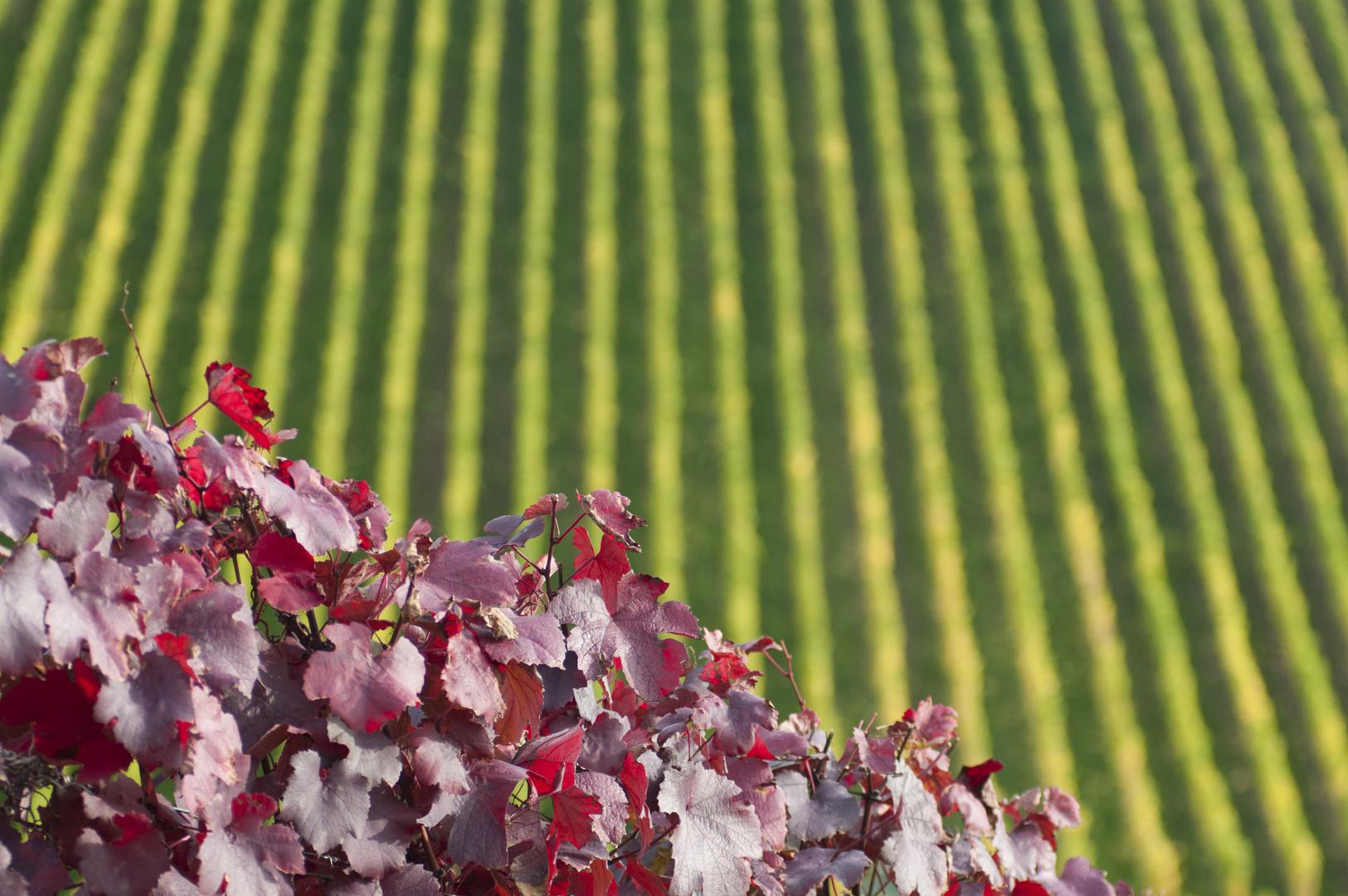 Herbst in den Weinbergen 01