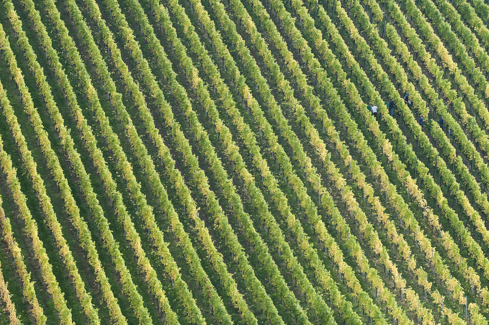 Herbst in den Weinbergen 02
