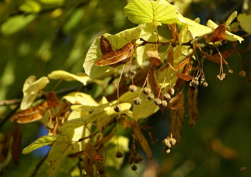 Herbst in der Linde