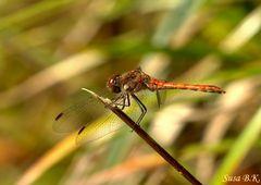 Herbst-Libelle