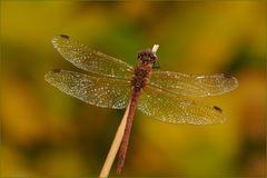 ~Herbst-Libelle~