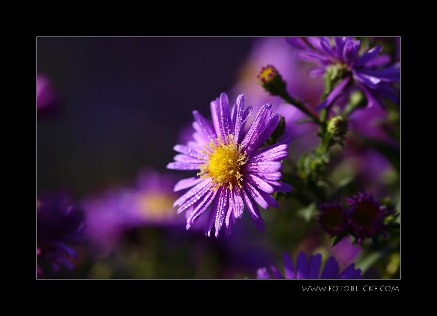 Herbst Lila