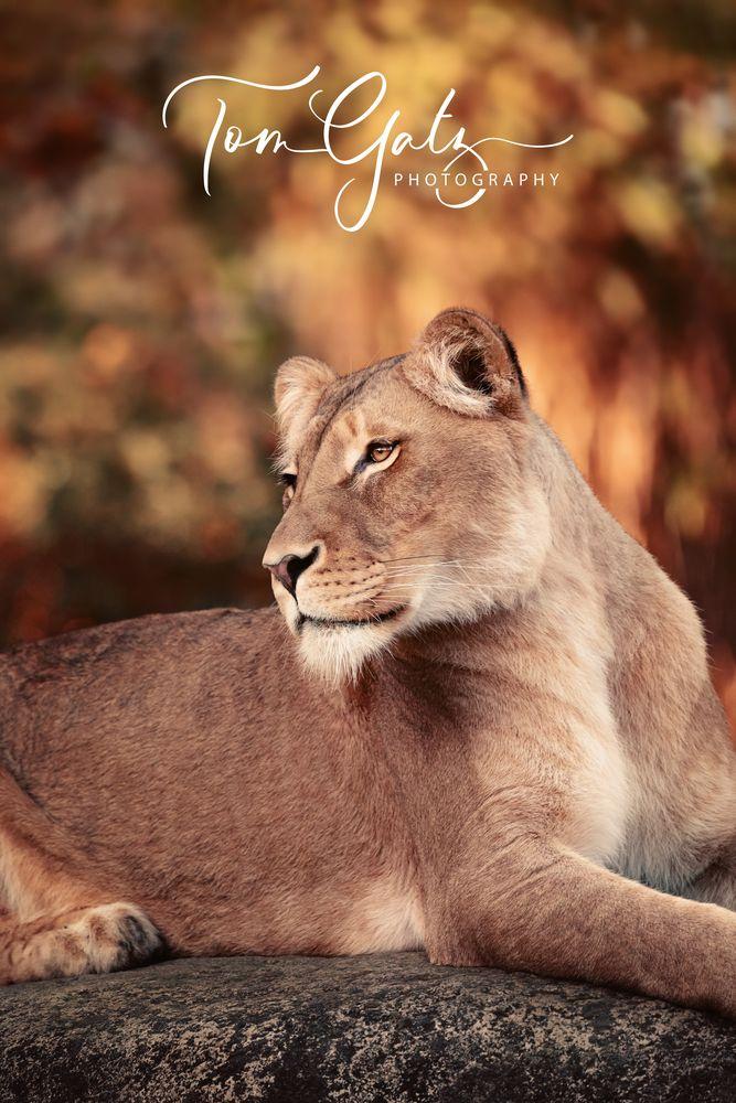 Herbst-Löwin