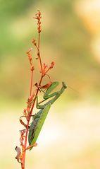 Herbst-Mantis