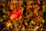 Herbst - Mohn