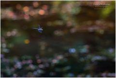 Herbst-Mosaikjungfer ...