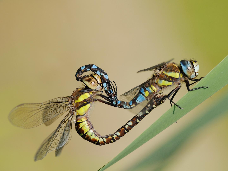 Herbst-Mosaikjungfer im Paarungsrad