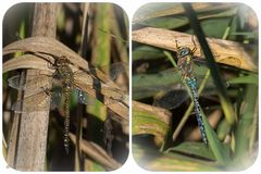 Herbst-Mosaikjungfer mit Glückskäfer