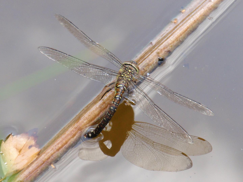 Herbst-Mosaikjungfer-Weibchen bei der Eiablage (Aeshna mixta)