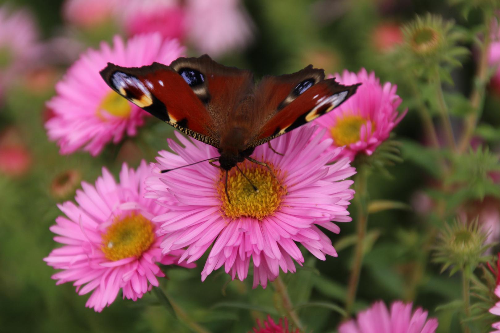 Herbst, Schmetterling, Blumen