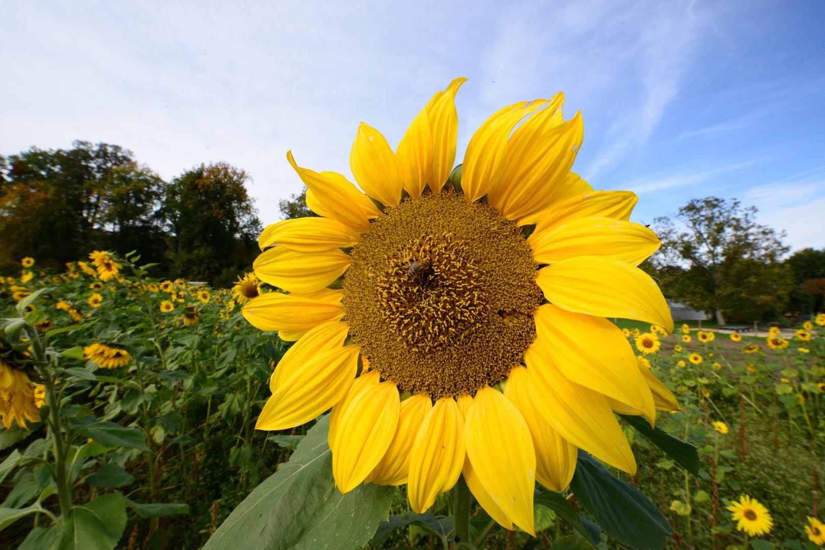 Herbst Sonnenblume