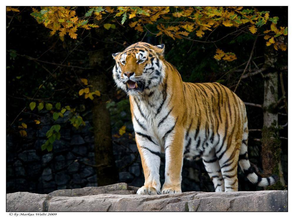 Herbst-Tiger