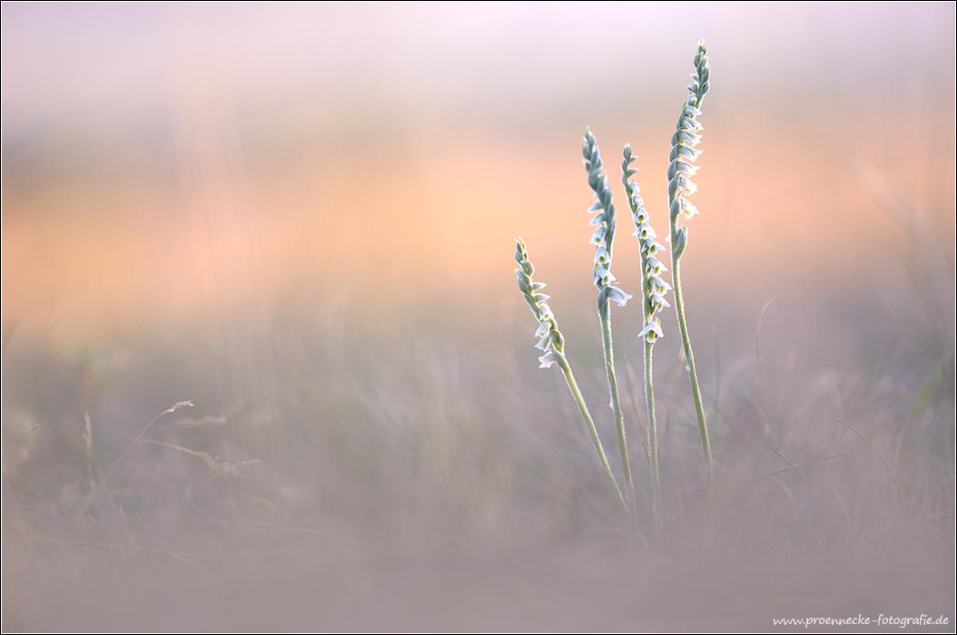 Herbst-Wendelorchis