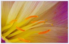 Herbst-Zeitlose oder Herbstzeitlose (Colchicum autumnale)