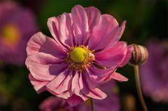 Herbstanemone - Anemone hupehensis....