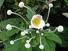 Herbstanemone - Anemone japonica