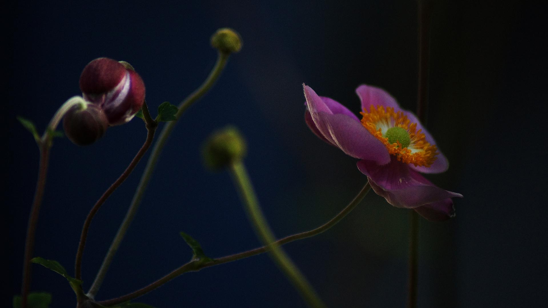 Herbstanemone II