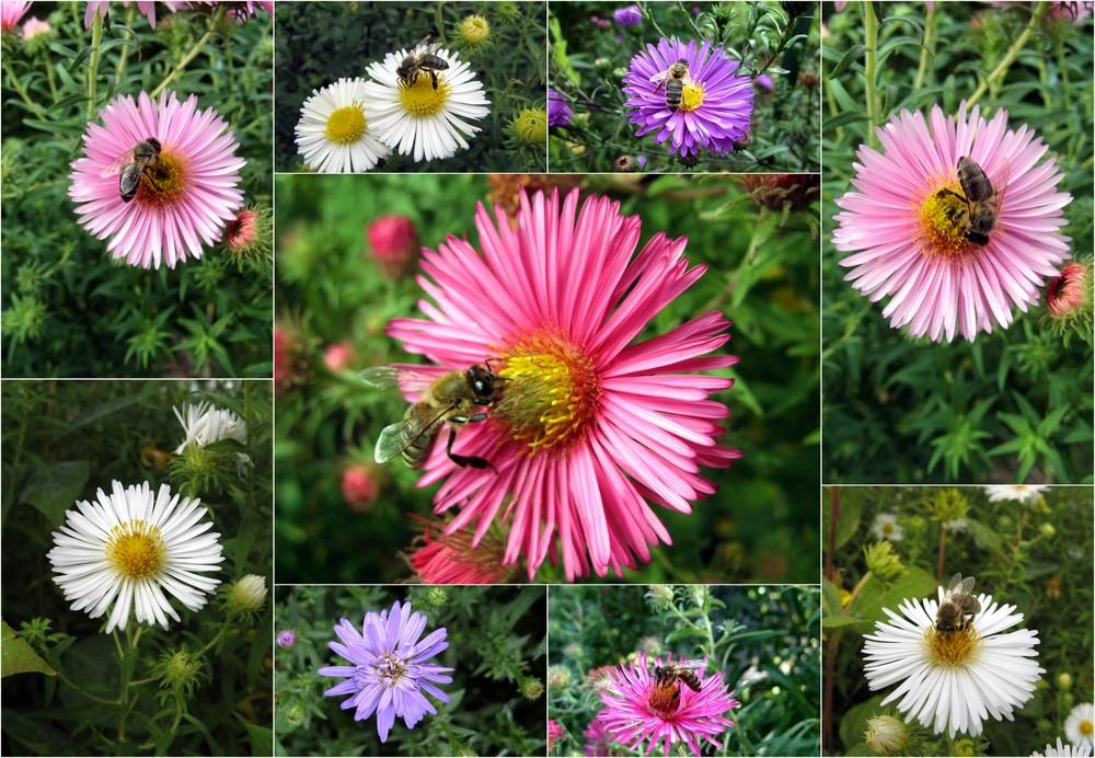 Herbstaster- Bienengetümmel