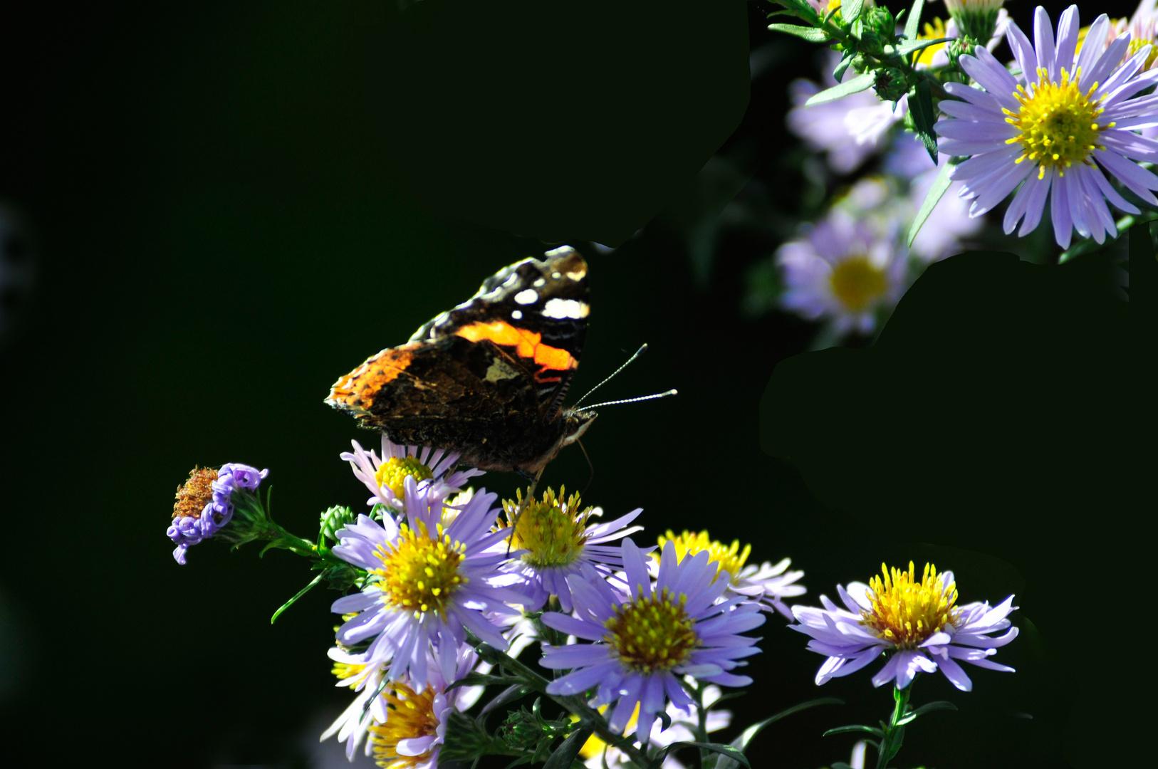 Herbstastern mit Gast