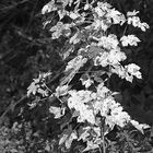 Herbstbäumchen (Ahörnchen) ganz allein am Waldrand