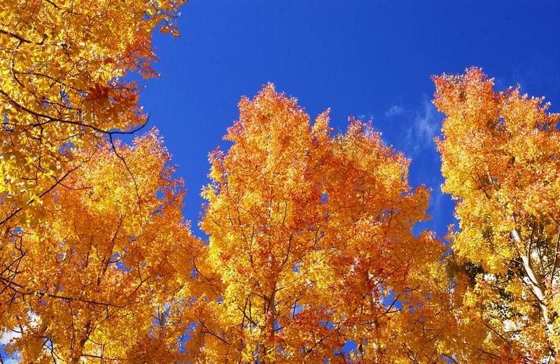 Herbstbäume in Aspen, Colorado