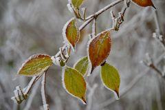 Herbstblätter im Raureif