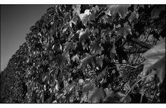 Herbstblätter sw