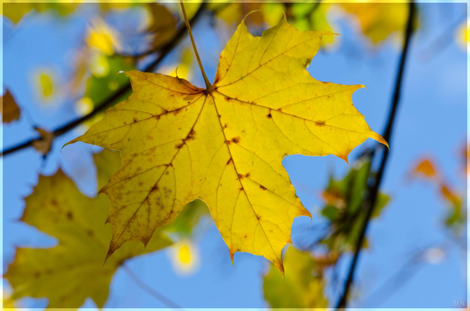 Herbstblatt / Ahorn
