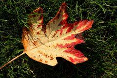 Herbstblatt der eichenblättrigen Hortensie