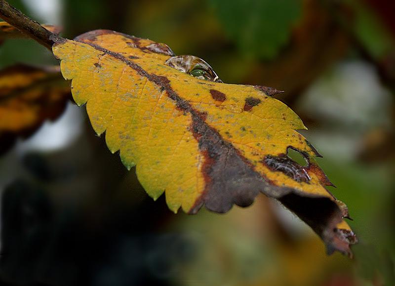 Herbstblatt Eberesche #2