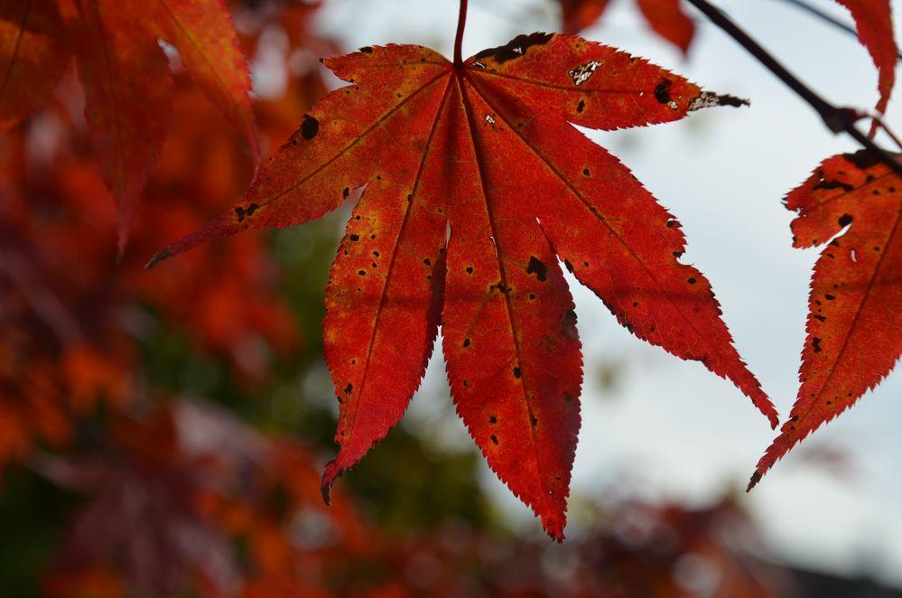Herbstblatt mit alten Erscheinung!