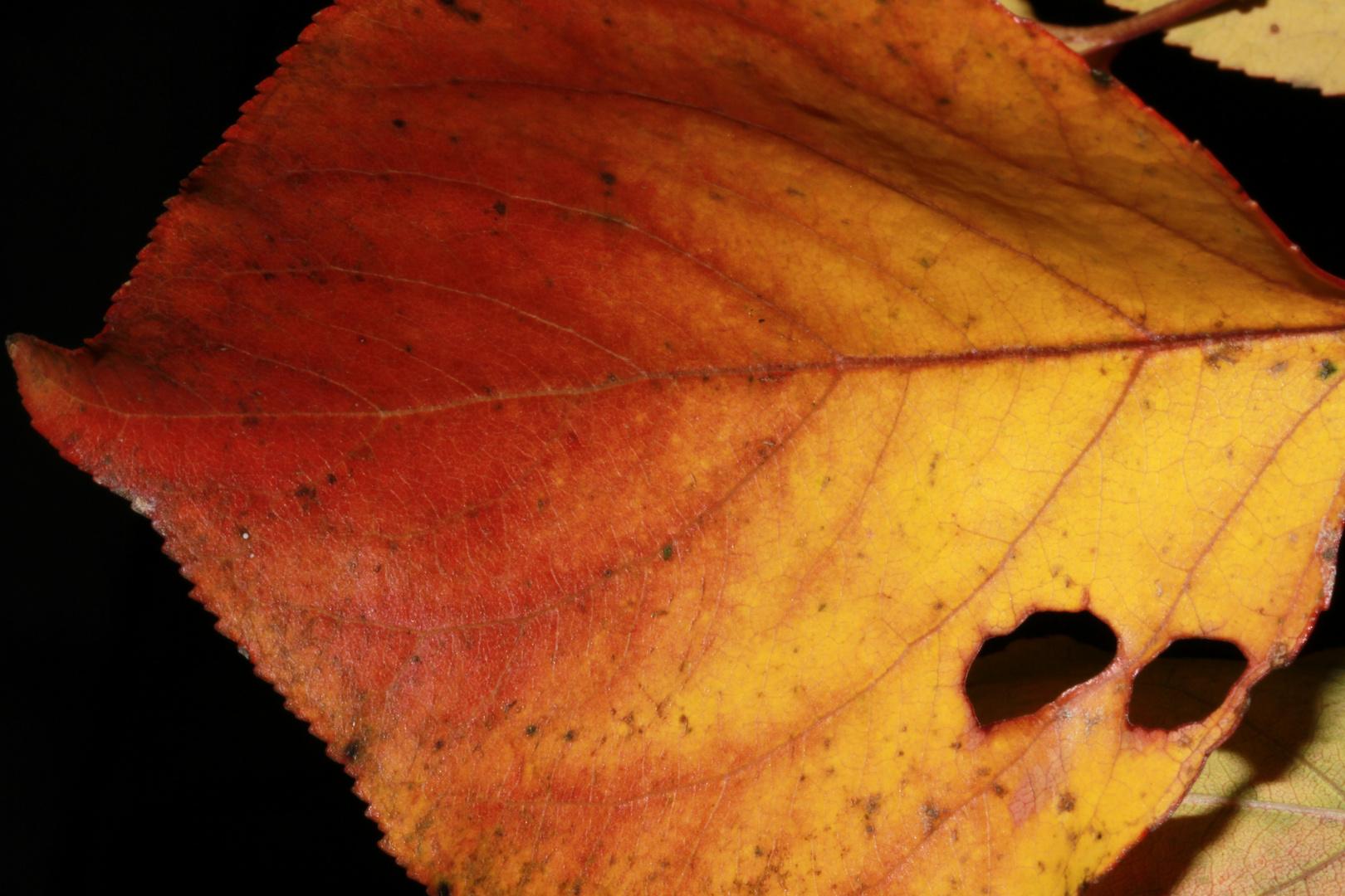 Herbstblatt mit Löcher