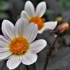 Herbstblume ...