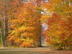 Herbstfärbung der Buchen im Park von Bad Muskau