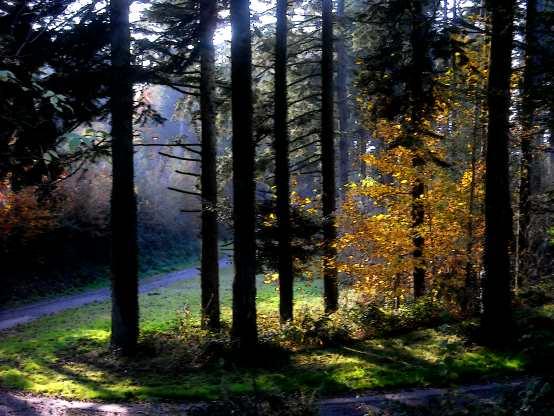Herbstfärbung im Nadelwald