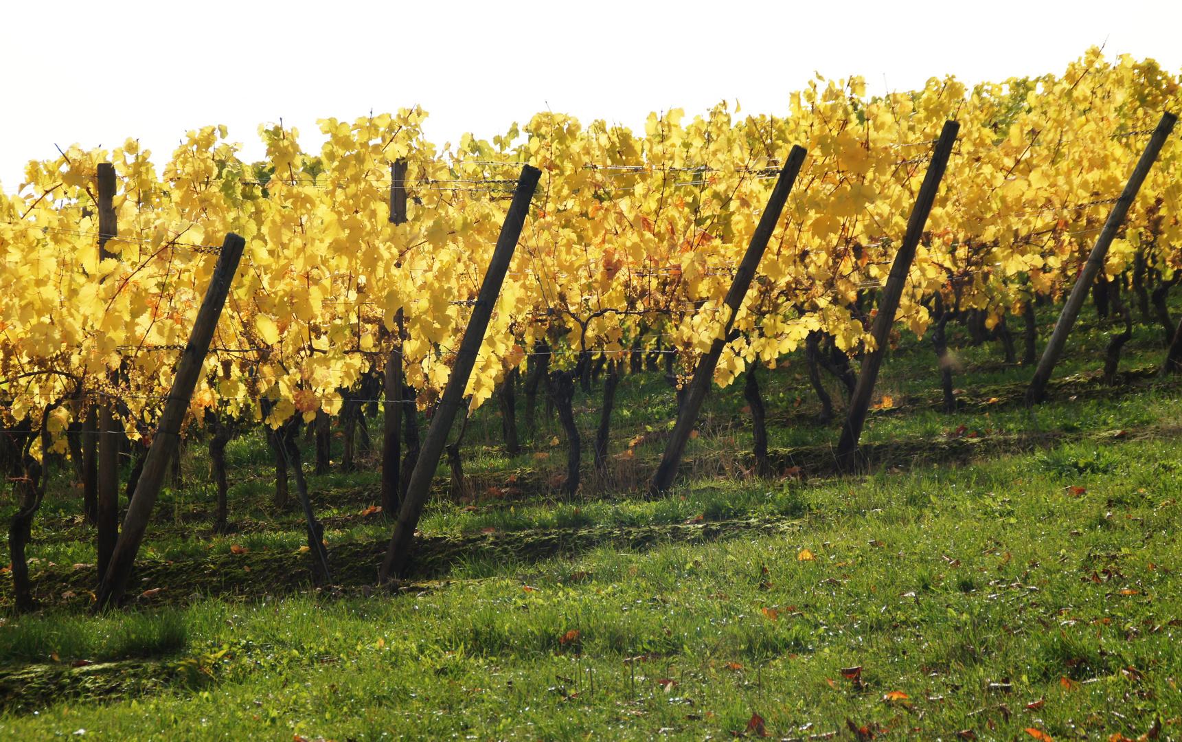 Herbstfarben im Rheingau (3)