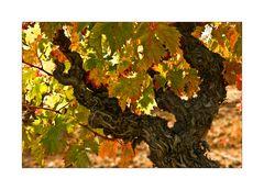 Herbstfarben in den Corbiéres