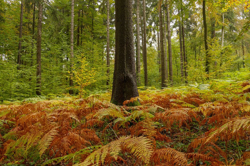 Herbstfarn im Eifelwald