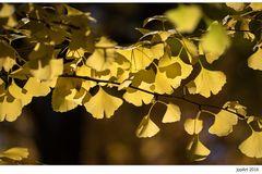 HerbstGinkgo~GinkgoHerbst