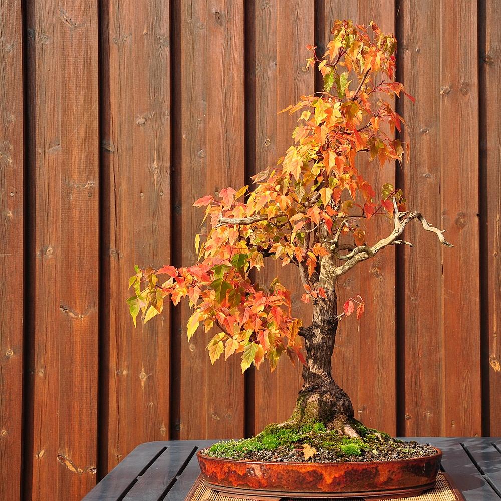 Herbstgruß japanisch