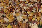 Herbstimpresion oder Blätterfall