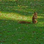 Herbstimpressionen - die ersten Walnüsse fallen - Das Eichhörnchen trägt stolz seine Beute