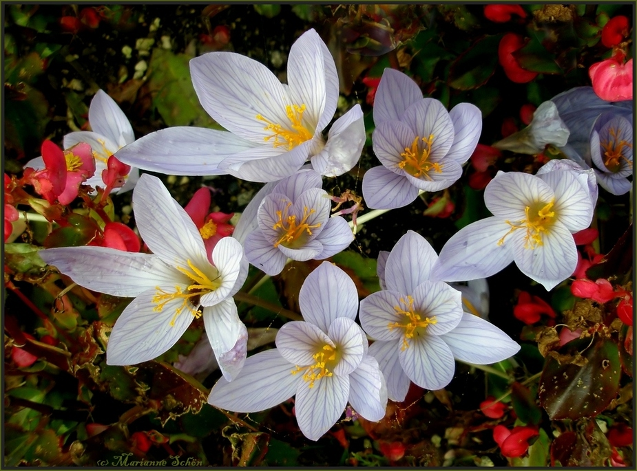 herbstkrokus  foto  bild  pflanzen pilze  flechten