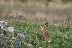 Herbstlandschaft mit Hase