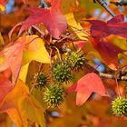 Herbstlaub-und-Früchte-am-Amberbaum