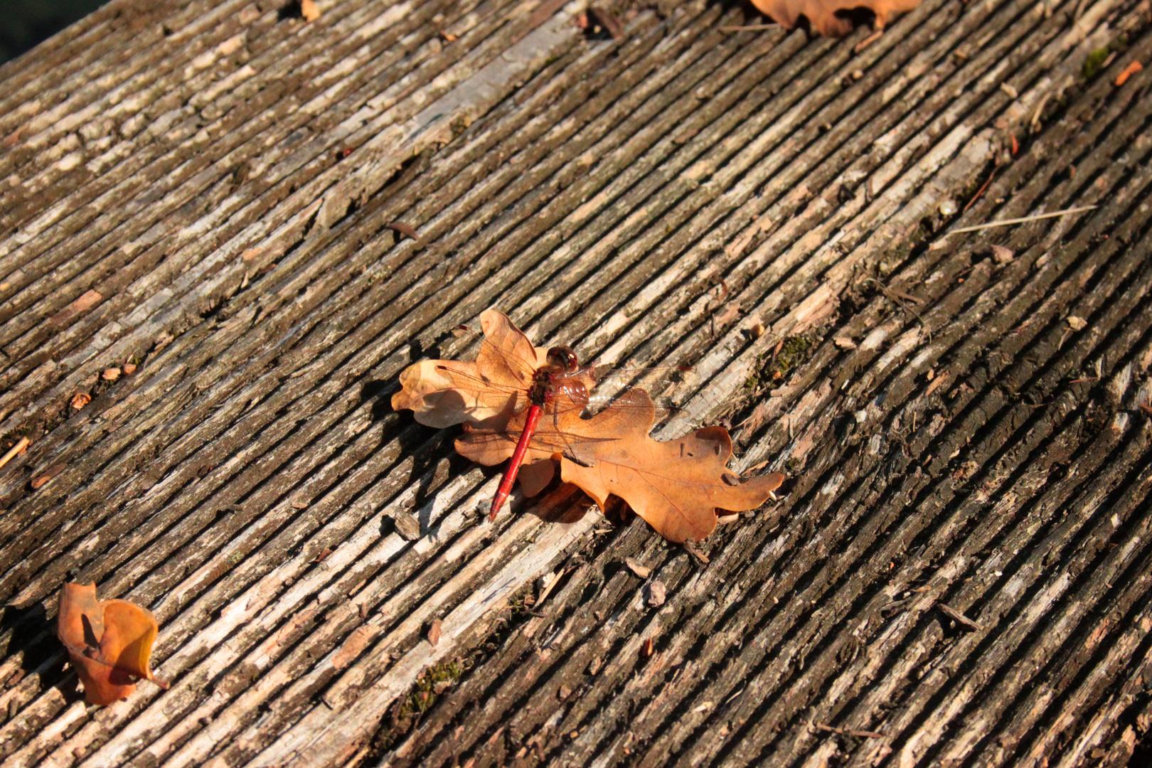 Herbstlibelle