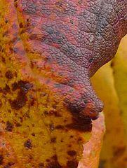Herbstlich gefärbtes Weinlaub