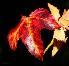 Herbstliche Amberbaumlblätter im Sonnenschein